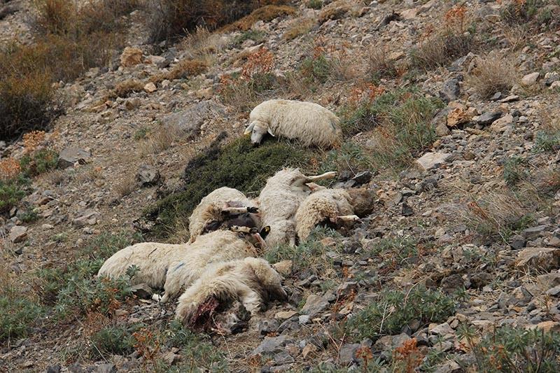 Her şey ilk koyunun uçurumdan düşmesiyle başladı 10