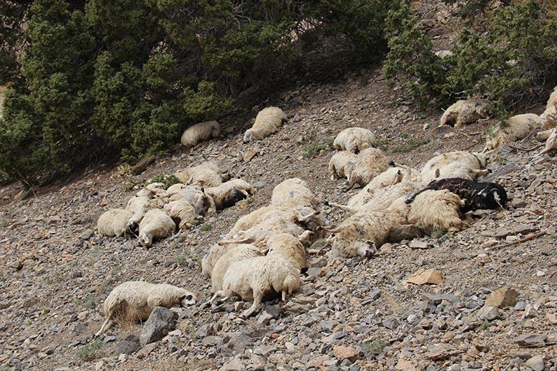 Her şey ilk koyunun uçurumdan düşmesiyle başladı 12