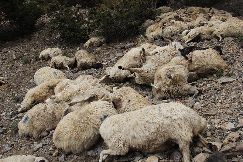Her şey ilk koyunun uçurumdan düşmesiyle başladı 13