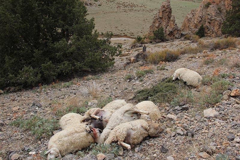 Her şey ilk koyunun uçurumdan düşmesiyle başladı 14