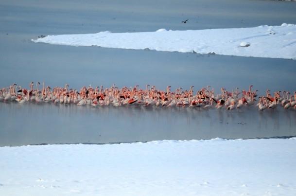 Flamingoların buz göçü 1