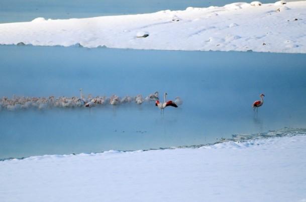 Flamingoların buz göçü 3