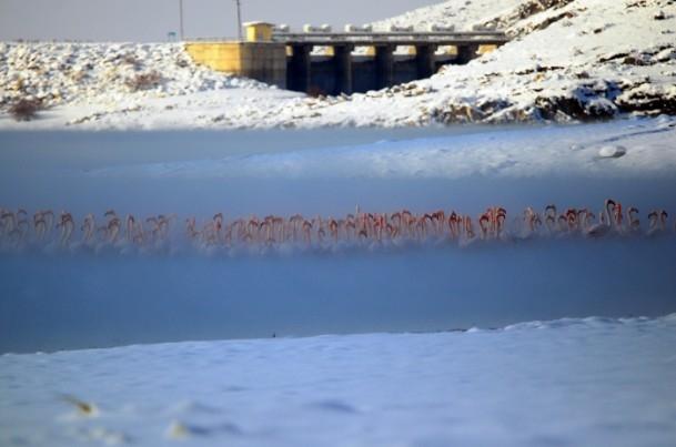 Flamingoların buz göçü 4