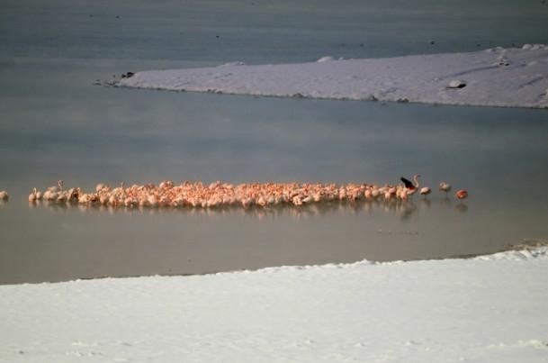 Flamingoların buz göçü 5
