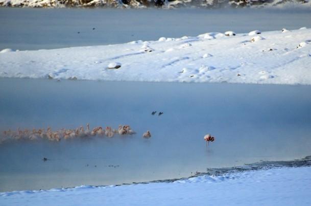 Flamingoların buz göçü 6