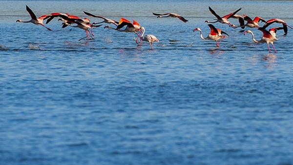 """Düden Gölü'nün zarif misafirleri """"flamingolar"""" 2"""
