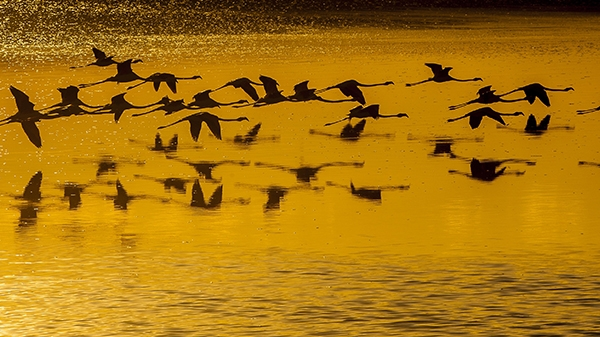 """Düden Gölü'nün zarif misafirleri """"flamingolar"""" 5"""