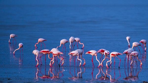 """Düden Gölü'nün zarif misafirleri """"flamingolar"""" 6"""
