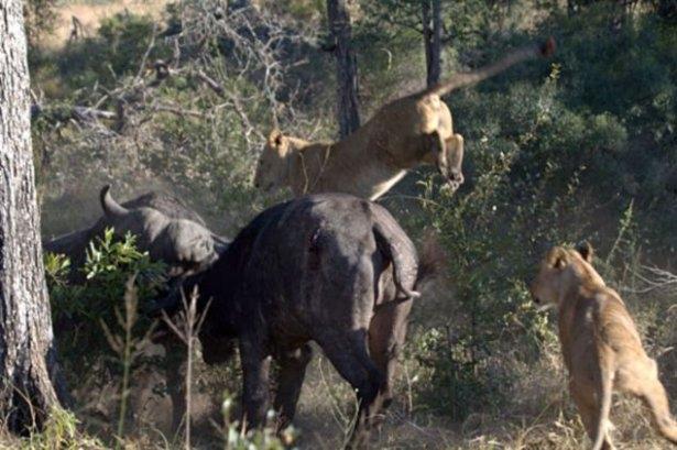 Aslanların amansız av mücadelesi 1