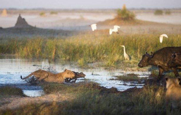 Aslanların amansız av mücadelesi 10