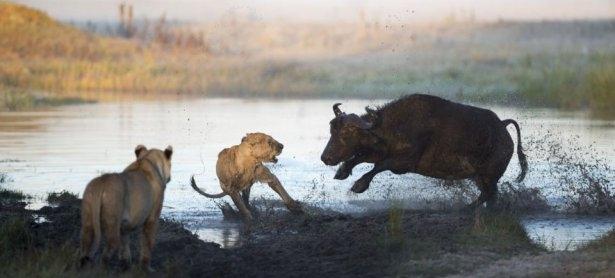 Aslanların amansız av mücadelesi 11