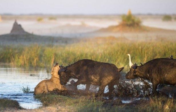 Aslanların amansız av mücadelesi 12