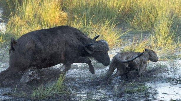 Aslanların amansız av mücadelesi 14