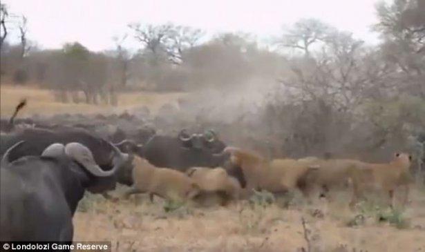Aslanların amansız av mücadelesi 15