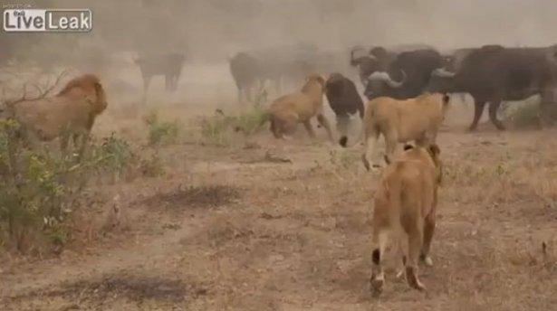 Aslanların amansız av mücadelesi 16