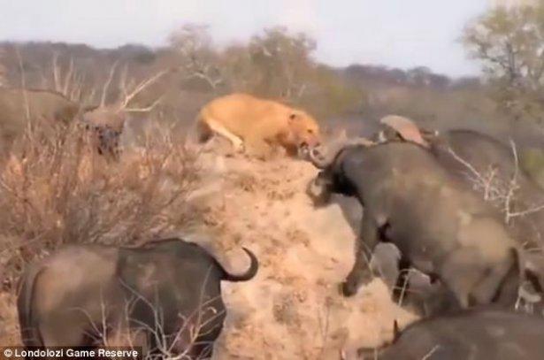 Aslanların amansız av mücadelesi 18
