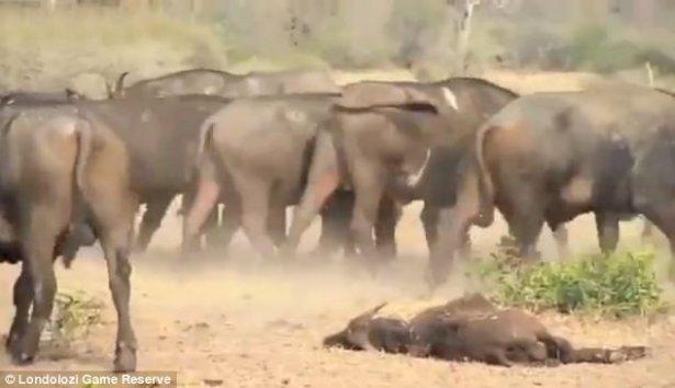Aslanların amansız av mücadelesi 19