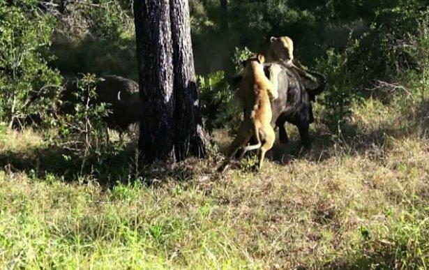Aslanların amansız av mücadelesi 2