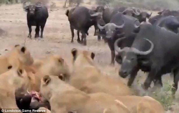 Aslanların amansız av mücadelesi 20
