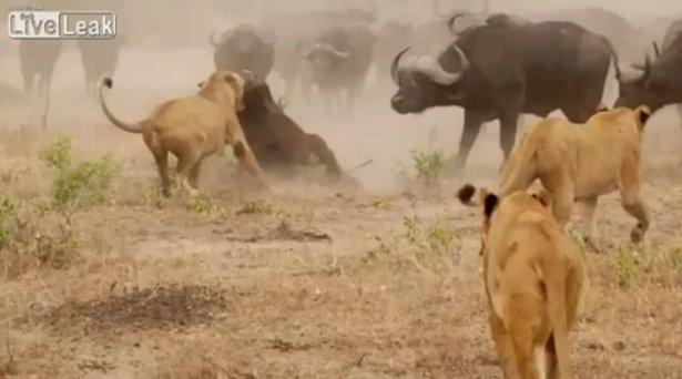 Aslanların amansız av mücadelesi 23