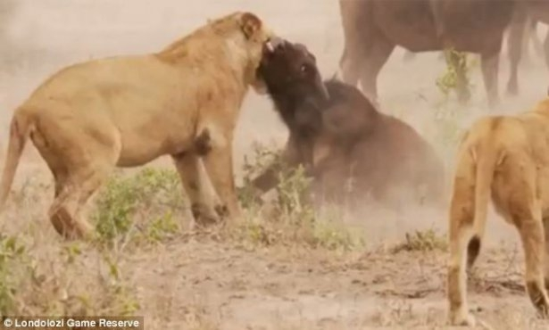 Aslanların amansız av mücadelesi 24