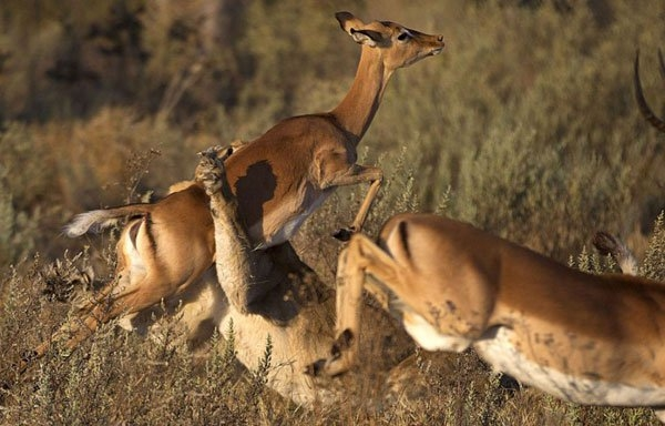 Aslanların amansız av mücadelesi 26