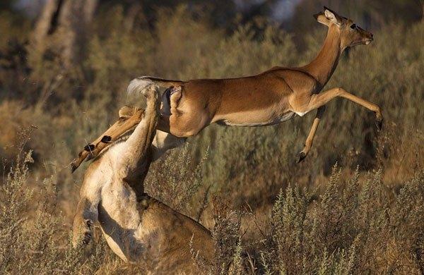 Aslanların amansız av mücadelesi 27