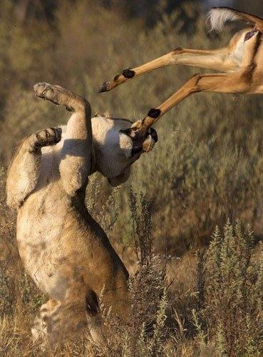 Aslanların amansız av mücadelesi 28