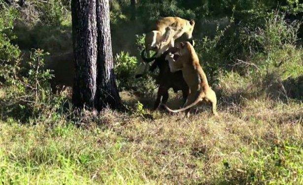 Aslanların amansız av mücadelesi 3