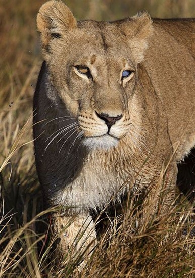 Aslanların amansız av mücadelesi 30