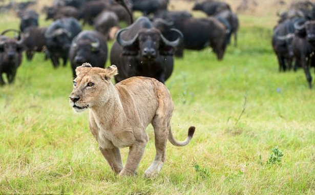 Aslanların amansız av mücadelesi 34