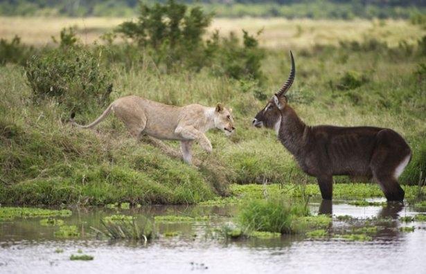 Aslanların amansız av mücadelesi 35
