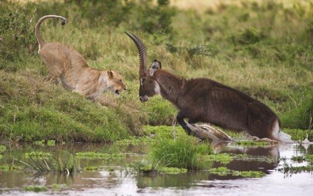 Aslanların amansız av mücadelesi 36