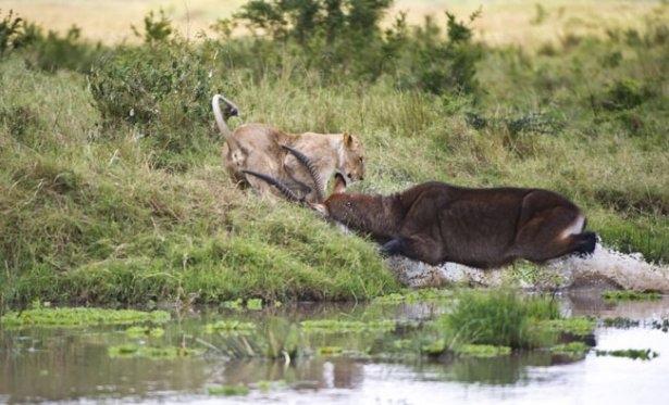 Aslanların amansız av mücadelesi 37