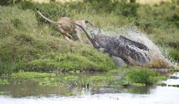 Aslanların amansız av mücadelesi 38