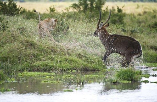 Aslanların amansız av mücadelesi 39