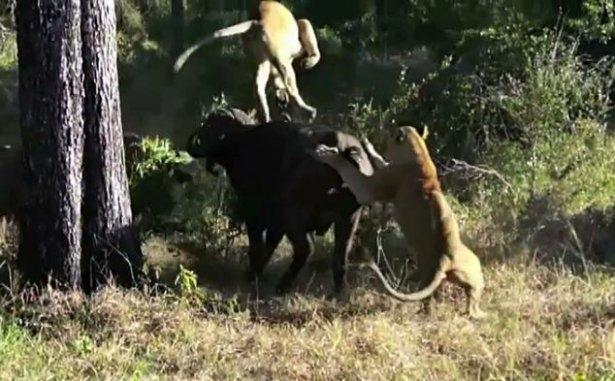 Aslanların amansız av mücadelesi 4