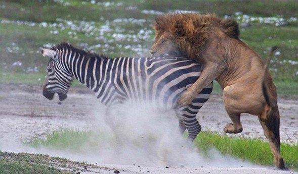 Aslanların amansız av mücadelesi 40