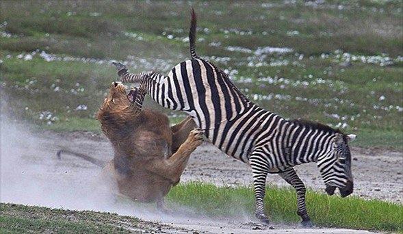 Aslanların amansız av mücadelesi 41