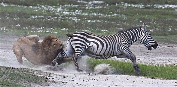 Aslanların amansız av mücadelesi 42