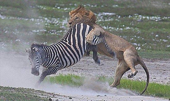 Aslanların amansız av mücadelesi 43