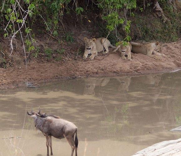 Aslanların amansız av mücadelesi 44
