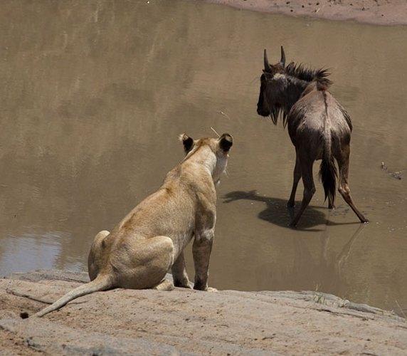 Aslanların amansız av mücadelesi 45