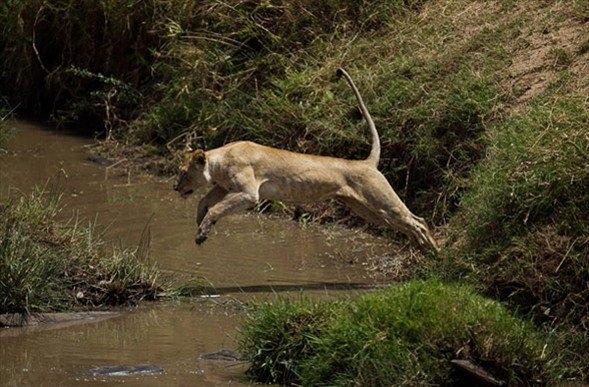 Aslanların amansız av mücadelesi 46