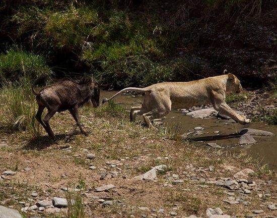 Aslanların amansız av mücadelesi 47