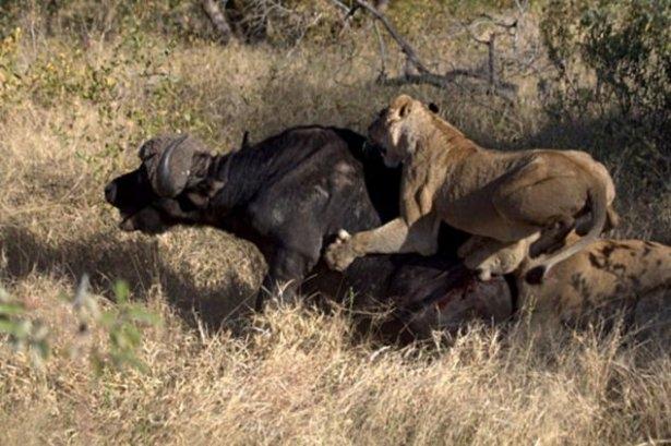 Aslanların amansız av mücadelesi 5