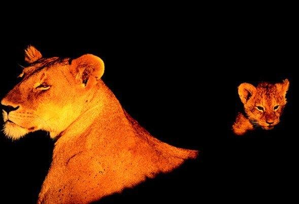 Aslanların amansız av mücadelesi 52