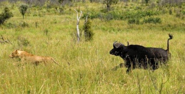 Aslanların amansız av mücadelesi 6