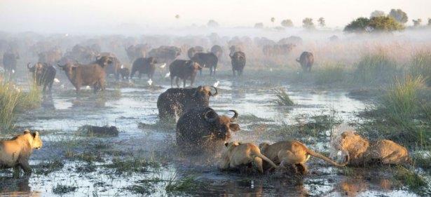 Aslanların amansız av mücadelesi 7