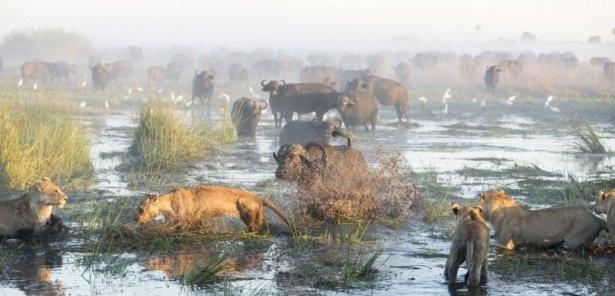 Aslanların amansız av mücadelesi 8